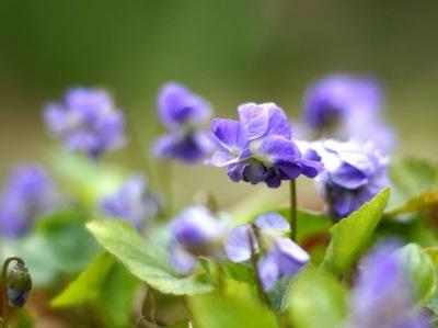 Viola odorata_antianti x600.jpg
