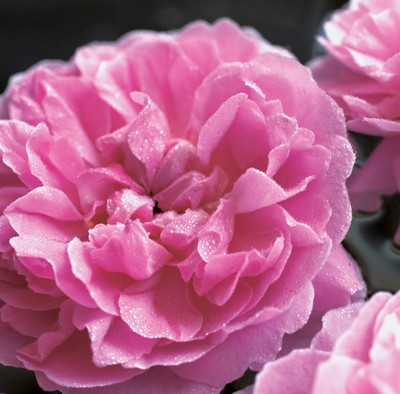 rose201805003.jpg